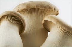 Champignons de couche d'huître photographie stock libre de droits
