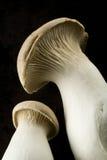 Champignons de couche d'huître photographie stock