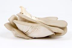 Champignons de couche d'huître (mycète) photo libre de droits