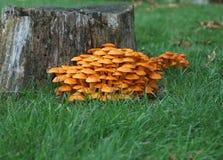 Champignons de couche d'orange sauvage images libres de droits