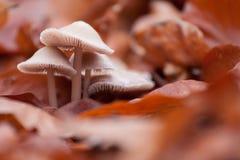 Champignons de couche dans des lames d'automne image libre de droits