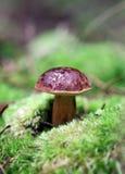 Champignons de couche dans l'herbe photos stock