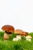 Champignons de couche dans l'herbe Photo stock