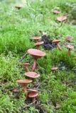 Champignons de couche dans la forêt photos stock