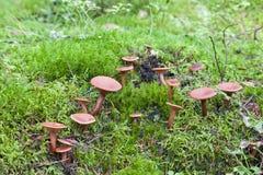 Champignons de couche dans la forêt image stock