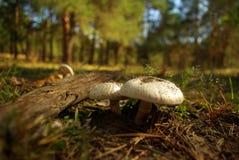 Champignons de couche dans le bois Photographie stock libre de droits