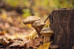 Champignons de couche dans une forêt images stock