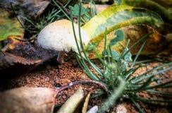 Champignons de couche dans une forêt Photo libre de droits
