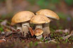 Champignons de couche de boletus Image stock