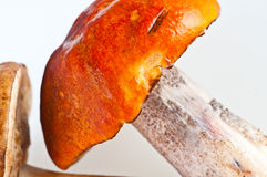 Champignons de couche de cèpe d'été (reticulatus de boletus) photo libre de droits