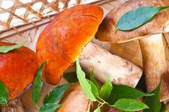 Champignons de couche de cèpe d'été (reticulatus de boletus) photos libres de droits