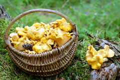 Champignons de couche de chanterelle Photo libre de droits