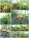Champignons de couche de collage Photo stock
