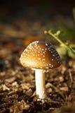 Champignons de couche de forêt d'automne Image stock