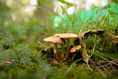 Champignons de couche de touffe Photo stock