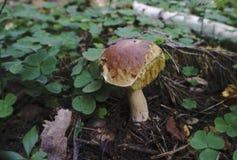 Champignons de couche est riche en champignons Les champignons sont de différents types Images libres de droits
