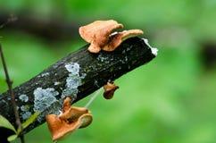 Champignons de couche et mycète Photo libre de droits