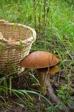 Champignons de couche et panier comestibles sur l'herbe verte Photographie stock libre de droits