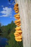 Champignons de couche jaunes photos stock