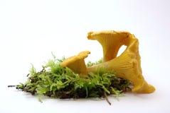 Champignons de couche jaunes de Chantarelle Image libre de droits