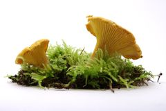 Champignons de couche jaunes de Chantarelle Images libres de droits