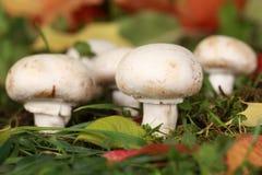 Champignons de couche mûrs dans une forêt Photos stock