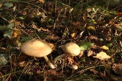 Champignons de couche Mellea d'Armillaria photos libres de droits