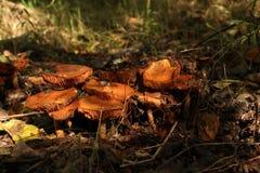 Champignons de couche Mellea d'Armillaria images stock