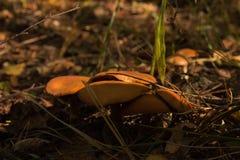 Champignons de couche Mellea d'Armillaria photographie stock