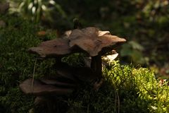 Champignons de couche Mellea d'Armillaria image stock
