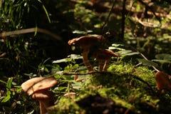 Champignons de couche Mellea d'Armillaria images libres de droits