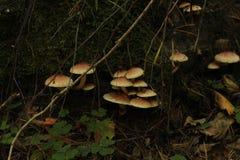 Champignons de couche Mellea d'Armillaria photos stock