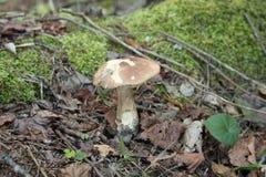 Champignons de couche Mycète blanc photos stock
