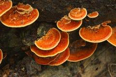 Champignons de couche oranges Photo libre de droits