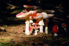 Champignons de couche rouges Photographie stock libre de droits