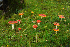 Champignons de couche rouges Photo stock
