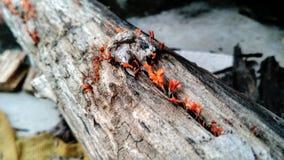 Champignons de couche rouges Images stock