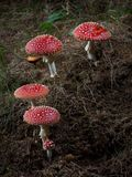 Champignons de couche rouges dans le forrest Photographie stock libre de droits