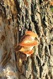 Champignons de couche s'élevant sur l'arbre Photos stock