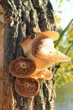 Champignons de couche s'élevant sur l'arbre Photos libres de droits