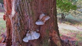 Champignons de couche s'élevant sur l'arbre image stock