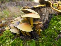 Champignons de couche s'élevant sur l'arbre Photo libre de droits