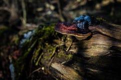 Champignons de couche s'élevant sur un arbre Photographie stock