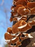 Champignons de couche s'élevant sur un arbre Photos stock