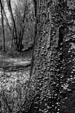 Champignons de couche s'élevant sur un arbre Photo stock