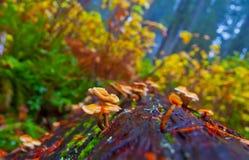 Champignons de couche sauvages Images libres de droits