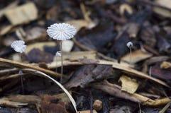 Champignons de couche sauvages Photographie stock libre de droits
