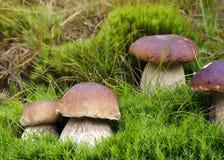 Champignons de couche sauvages Photo stock