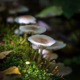 Champignons de couche sauvages comestibles Image stock