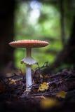 Champignons de couche sauvages comestibles Photographie stock